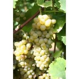 Solaris-vinplante